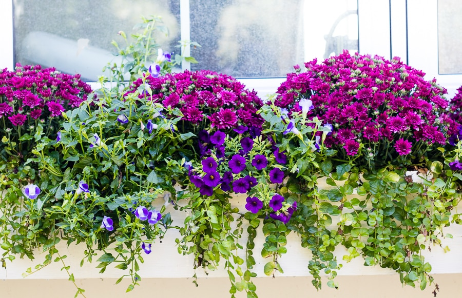 fall flower boxes burgundy and purple