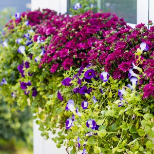 Burgundy and Purple Fall Flower Boxes