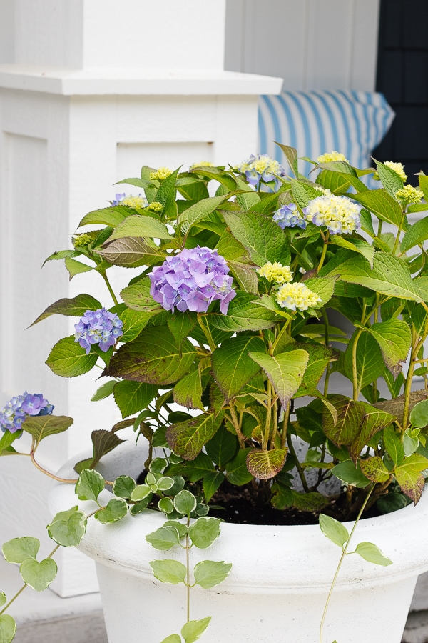 hydrangeas and vinca vine
