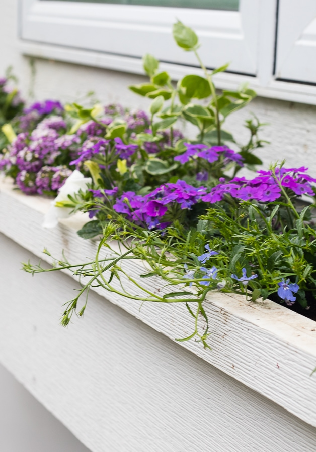 vinca vine verbena and petunia window boxes