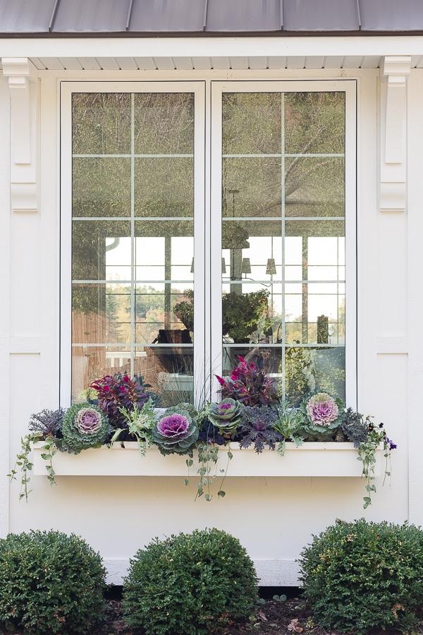 white window box purple cabbages and celosia