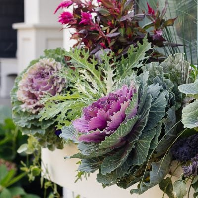 Purple and Burgundy Fall Window Boxes