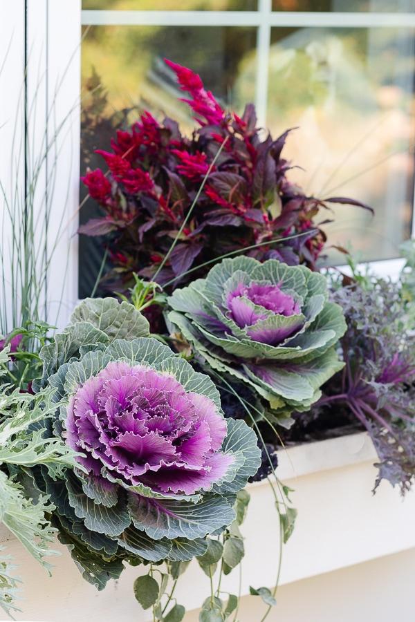 purple cabbage fall