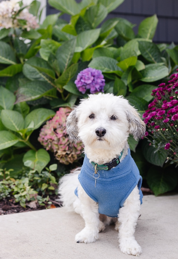 white havanese dog in blue sweater with hydrangeas