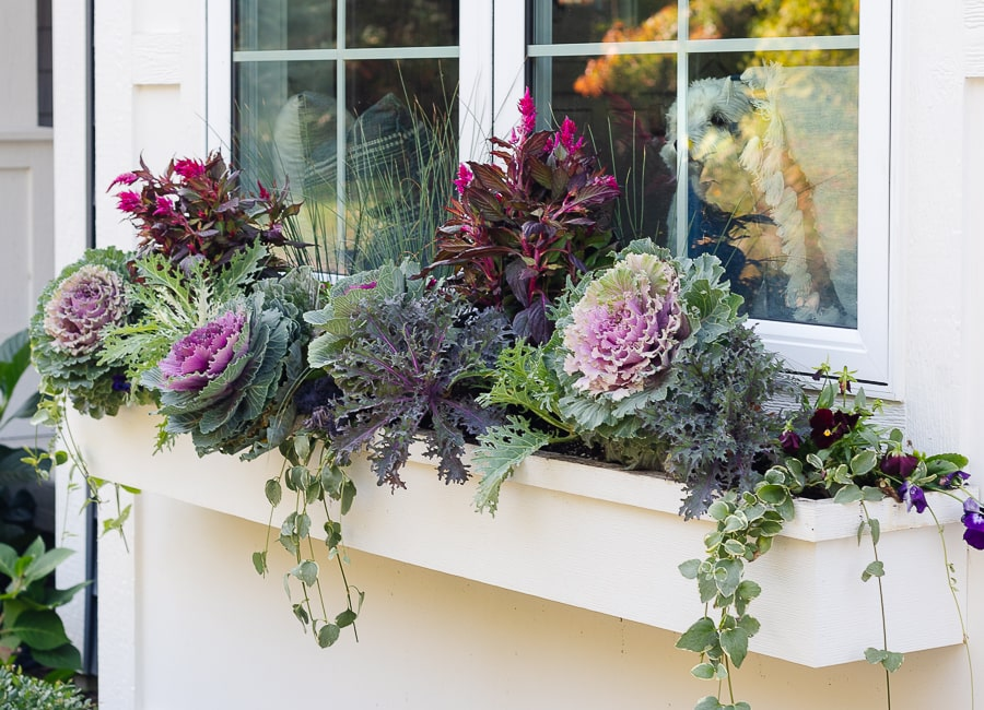 purple and burgundy flowers in white window box