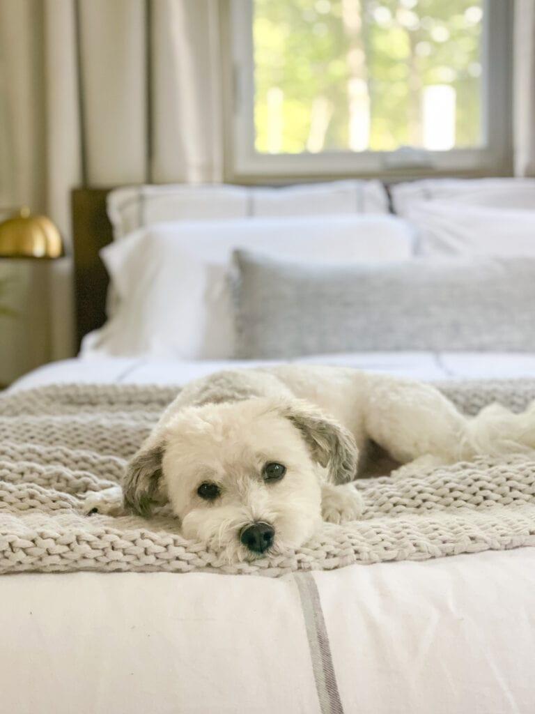 havanese dog gray blankets